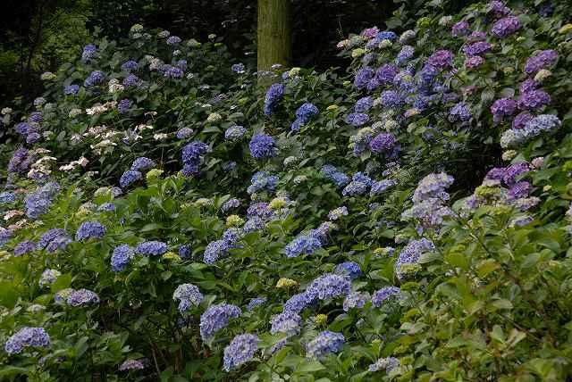 三景園の紫陽花25