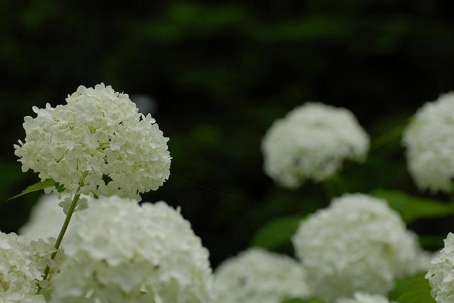 三景園の紫陽花26