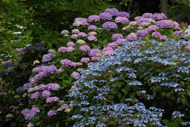 三景園の紫陽花27