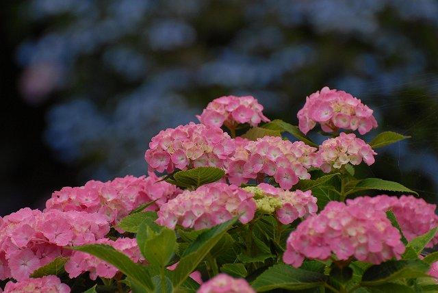 三景園の紫陽花28