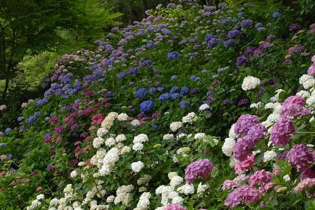 三景園の紫陽花29