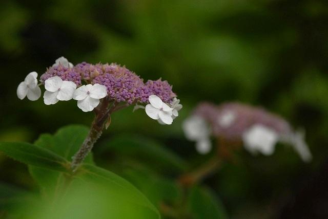 中国紫陽花1