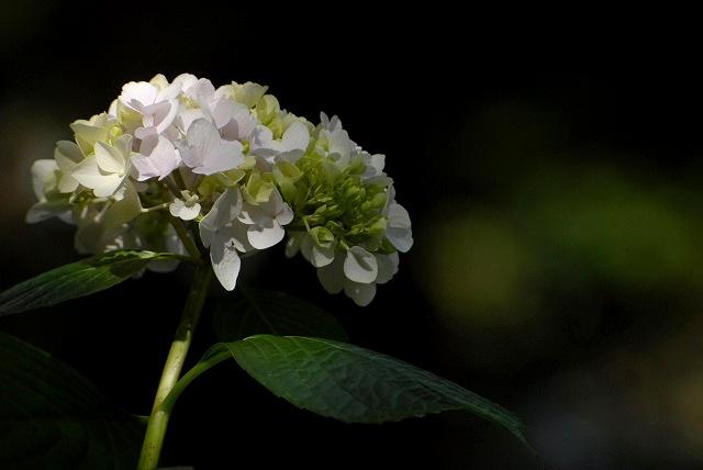白っぽい紫陽花