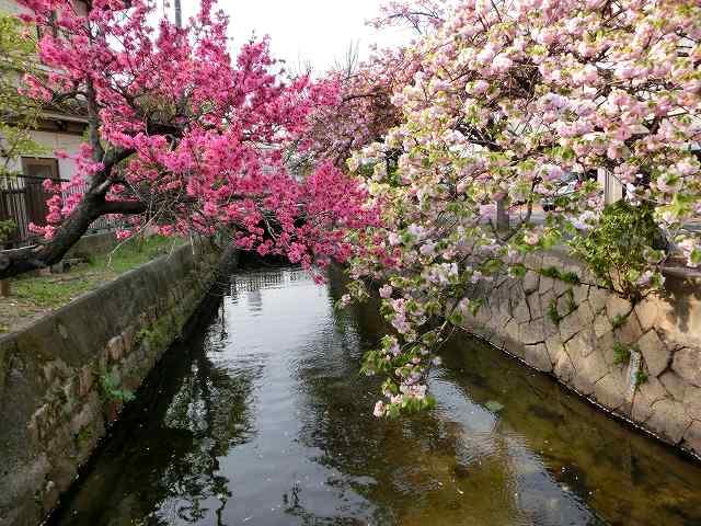 菊桃と八重桜1