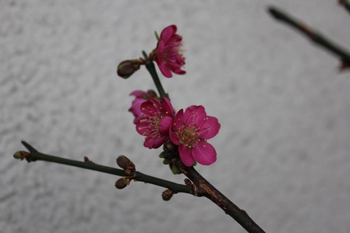2014年盆栽梅2