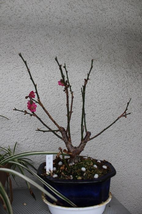2014年盆栽梅1