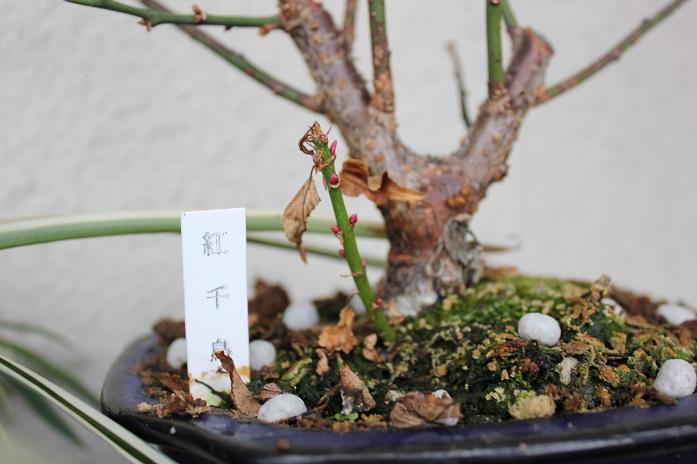 2014年盆栽梅3