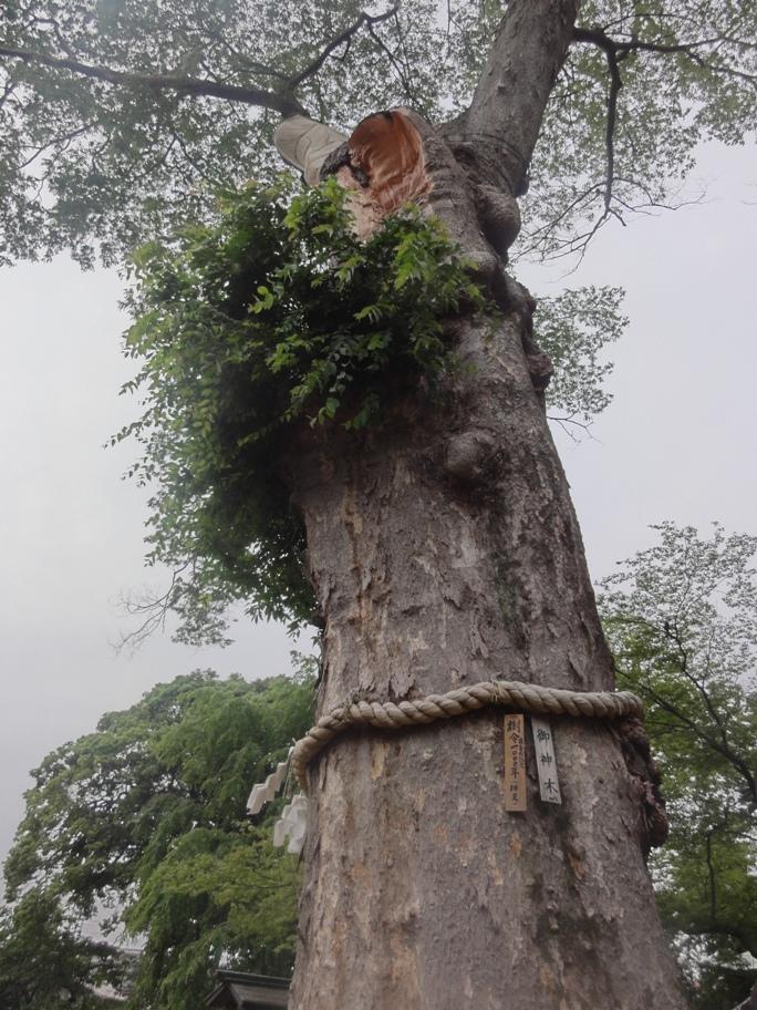 樹齢1000年けやき20130609