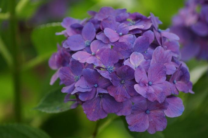 あじさい紫201306302A