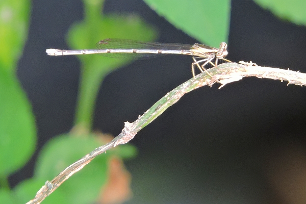 10,26ホリ キアシイトトンボ♀