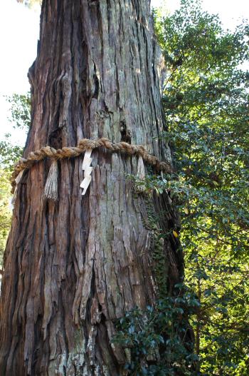 香取神宮巨木