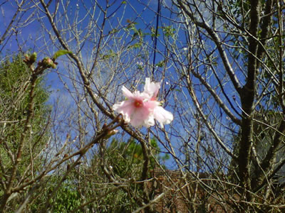 季節外れの桜.