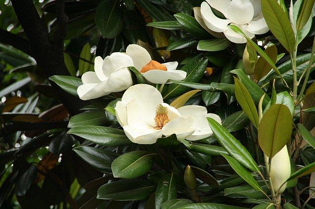 タイサンボク2