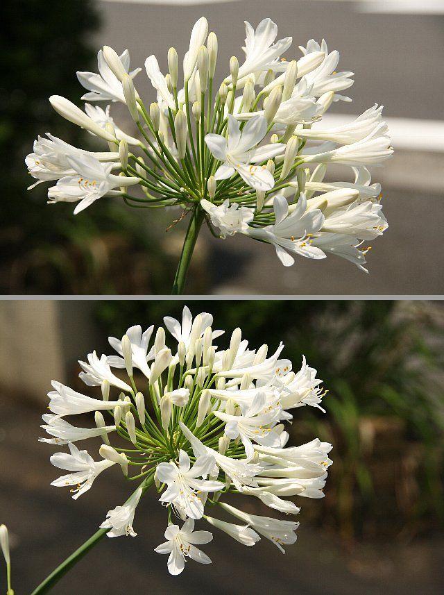 アガパンサス 白花