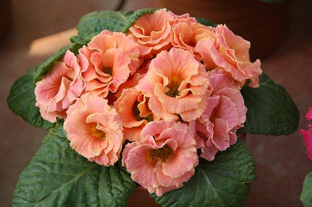プリムラ・ジュリアン バラ咲き1