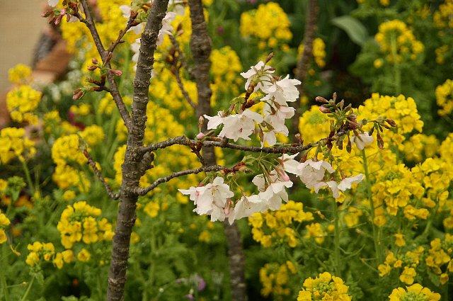 菜の花 桜