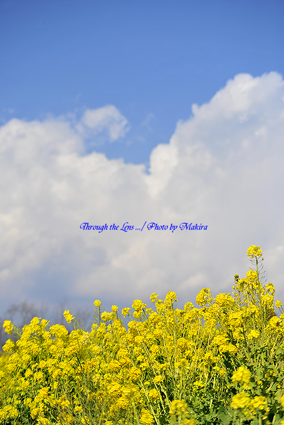 菜の花と青空1