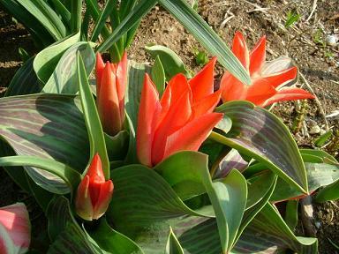 tulip2.jpg