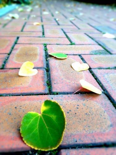 歩道にたくさんのハート形の落ち葉が・・。
