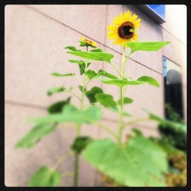 登下校する近所の銀行で咲いてた向日葵。