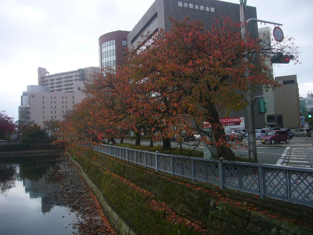 福井県庁周辺の姥桜紅葉 H26.11.02撮影