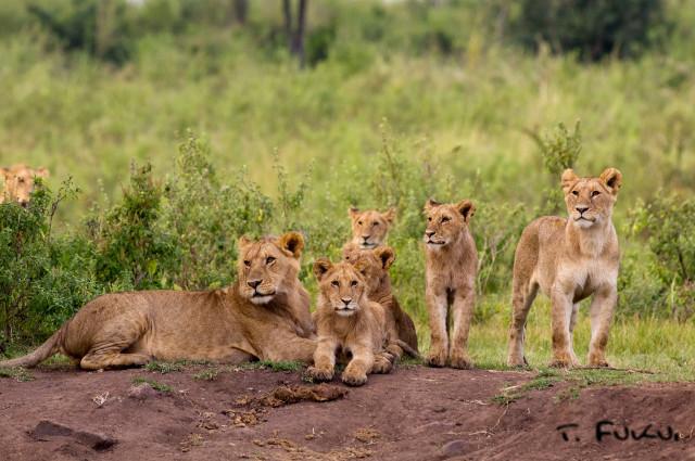 子ライオンたち