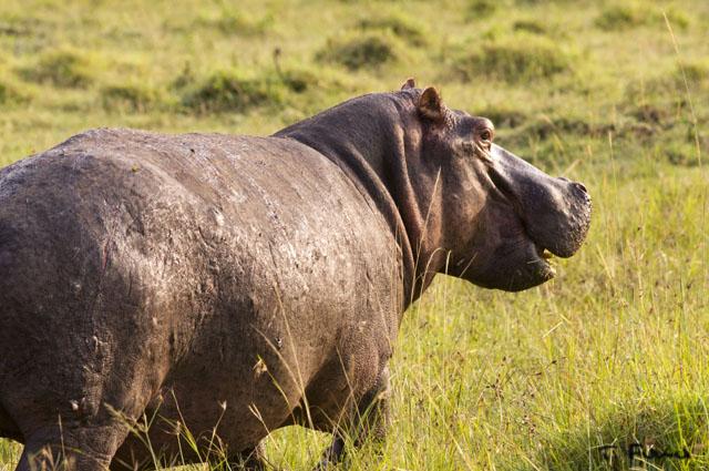 マサイマラのカバ