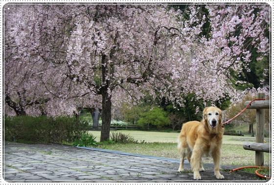 2013,4,19桜6