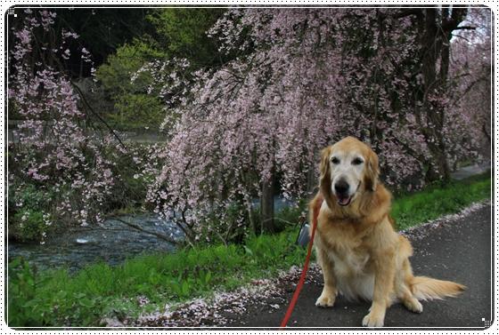 2013,4,19桜5