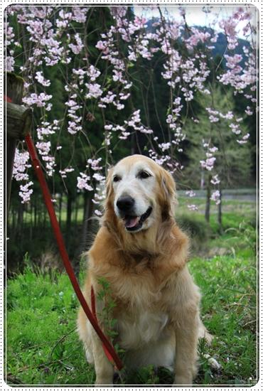 2013,4,19桜4