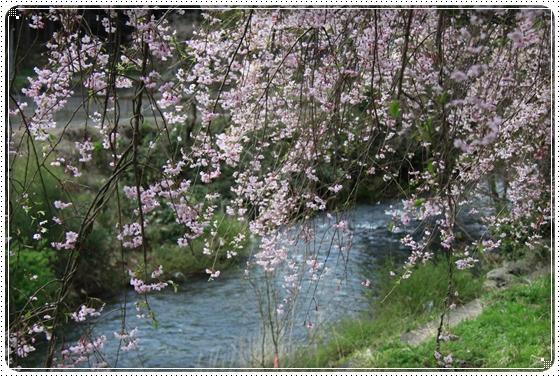 2013,4,19桜3