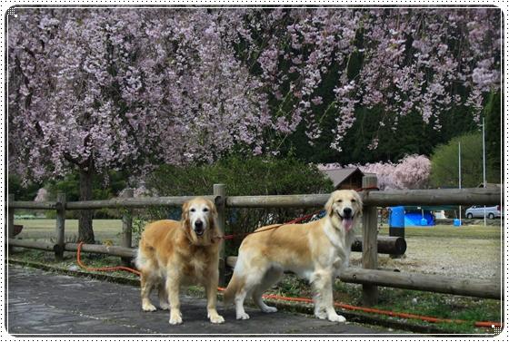 2013,4,19桜10