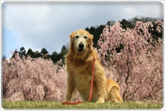 2013,4,19桜8