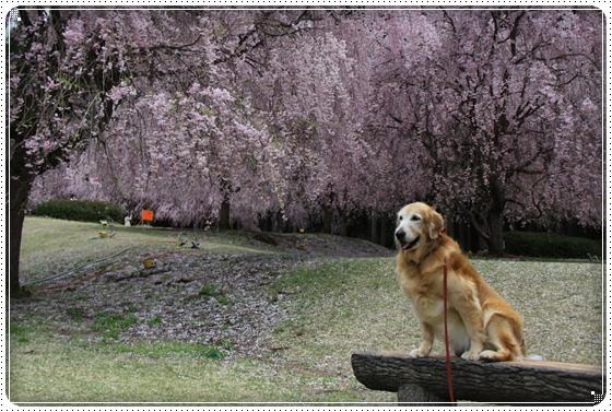 2013,4,19桜7