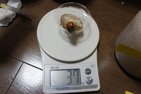 パラワン幼虫1