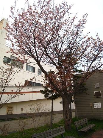 向陽公園の桜