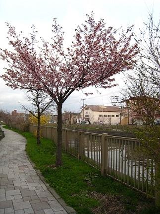 遊歩道の桜3