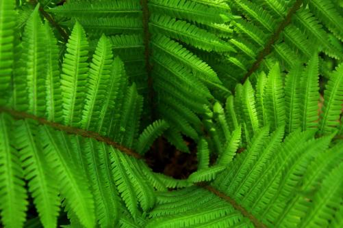 シダの緑色の葉