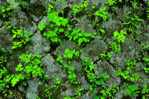 バス路線の壁面の石垣に芽を出す緑葉