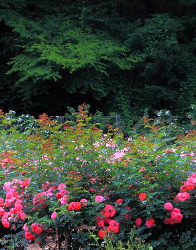 バラの花と木と