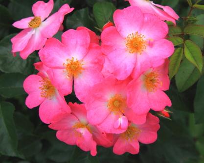 八重に咲くバラ