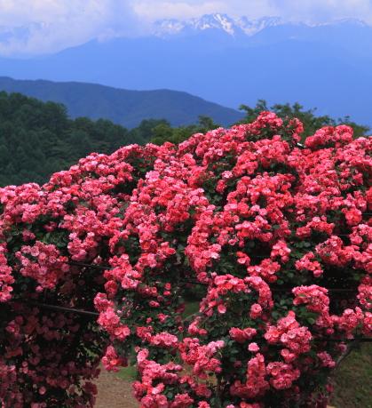 バラの花と西駒ヶ岳