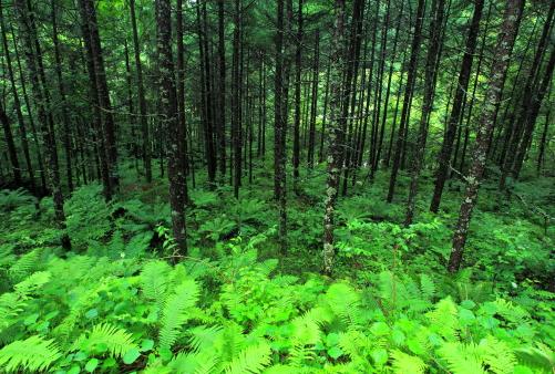 雨にぬれて緑葉鮮やかなカラマツ林
