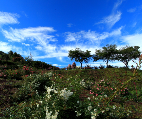 雲とバラ咲く風景