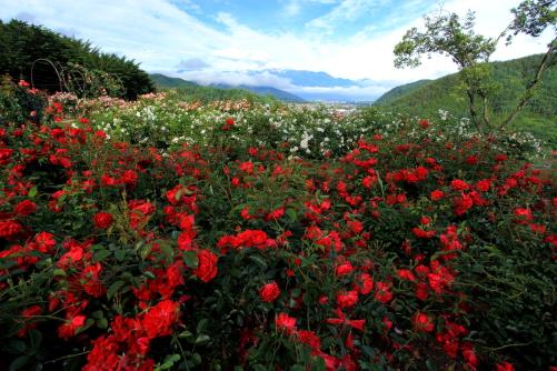 咲き競うローズガーデンのバラの花