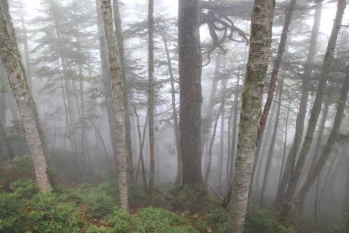 霧の針葉樹林