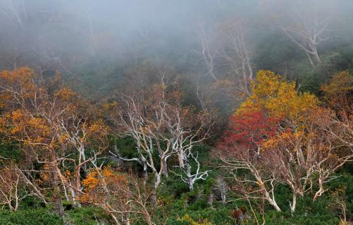 霧のダケカンバ林・御岳山