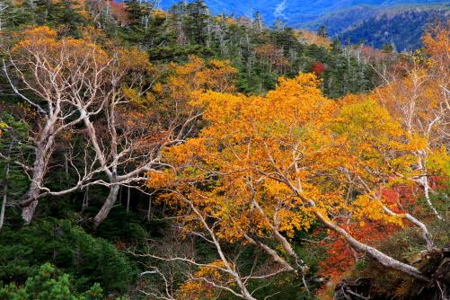 針葉樹に映える黄葉の岳樺