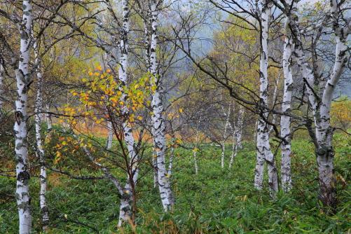 シラカバの林