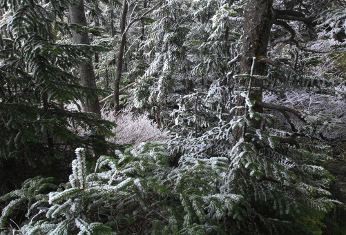 霧氷の森・黒斑山頂付近